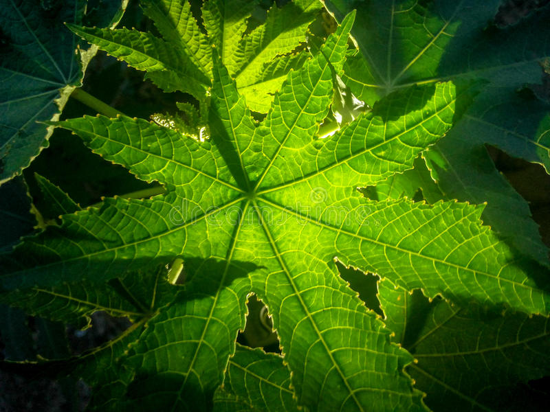 Leaves on Backlight royalty free stock photography