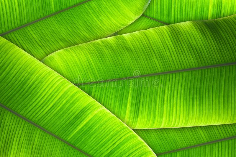 Leaves of the banana tree Textured abstract background royalty free stock photography