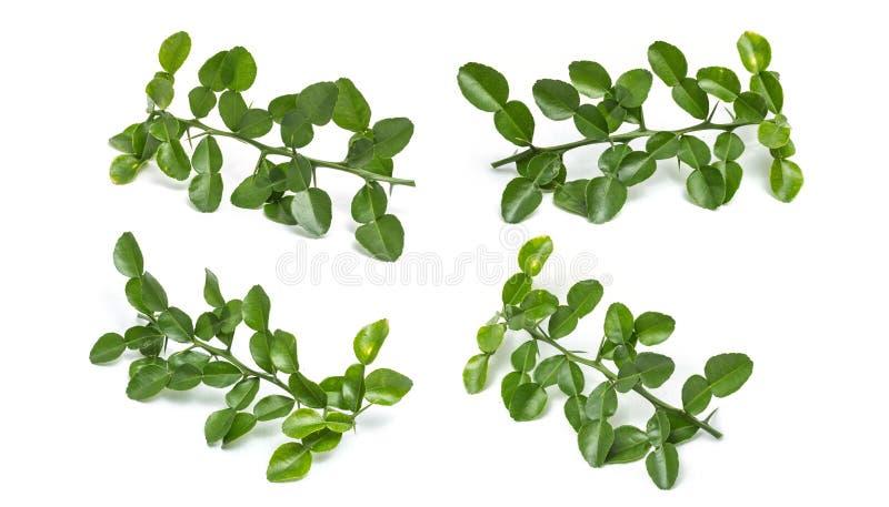Leaves of Bergamot tree or kaffir lime leaves isolated on white stock images