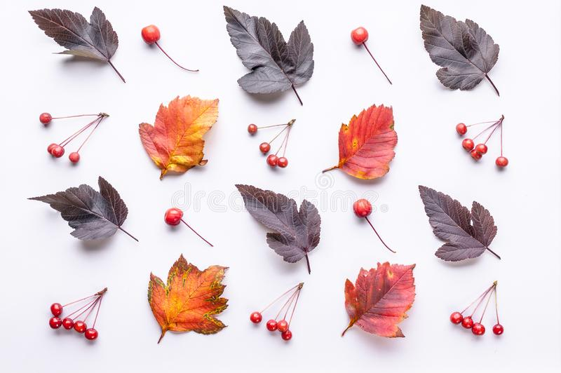 Leaves and berries top view. Autumn composition. Orange and red foliage and small fruits on white background. Fallen leaf and. Rowanbery flat lay. Fall season royalty free stock images