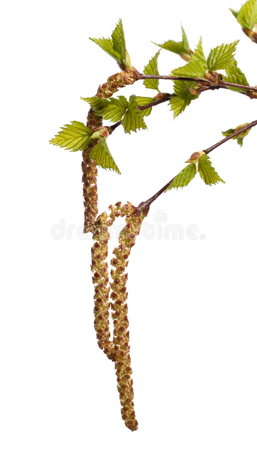 Leaves Of Birch Royalty Free Stock Photos