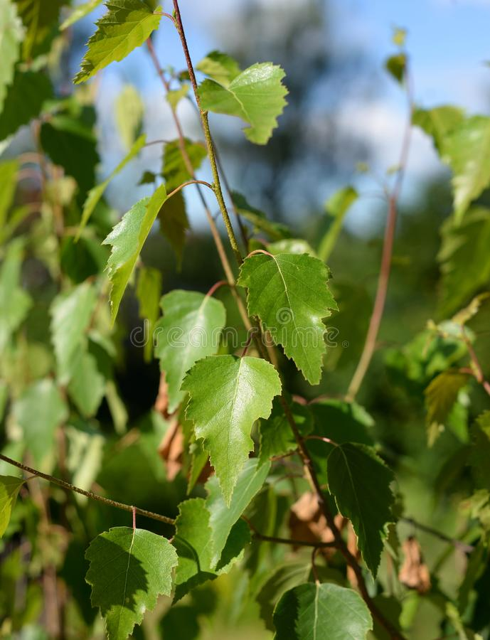 Leaves of a birch tree at summer. royalty free stock photography