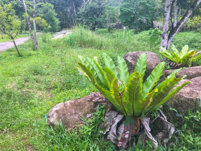 Leaves of Bird`s-nest fern at Phatthalung, Thailand. Green leaves of Bird`s-nest fern at Phatthalung, Thailand stock image