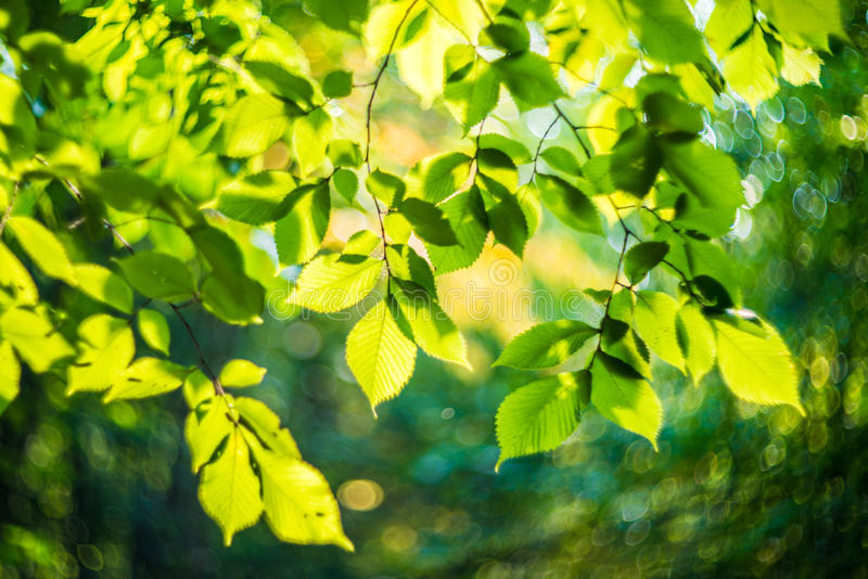 Leaves and bokeh. Green leaves and wonderful lens bokeh stock images