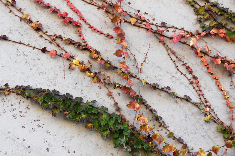 Leaves and branches of ivy clinging to a wall stock image