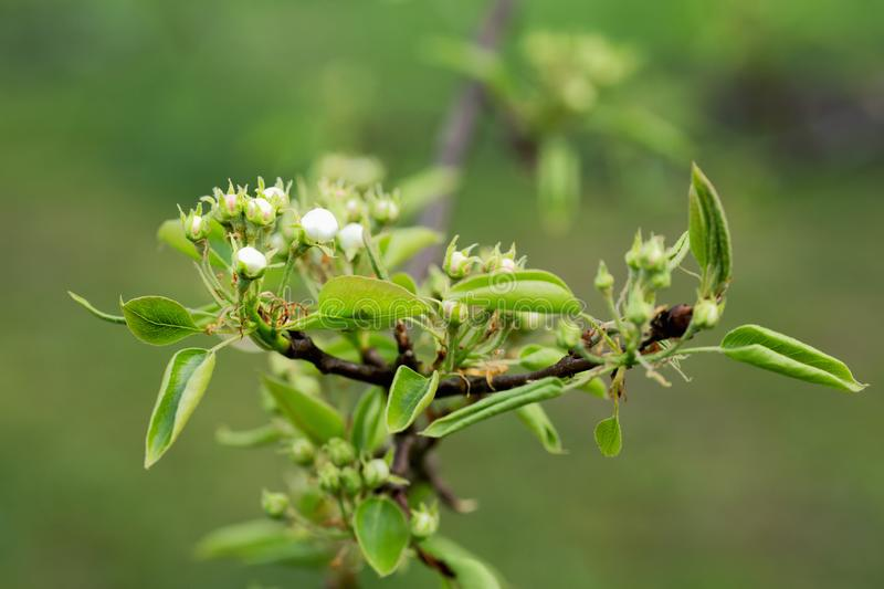 Leaves and buds of pear flowers. On a spring afternoon stock photography