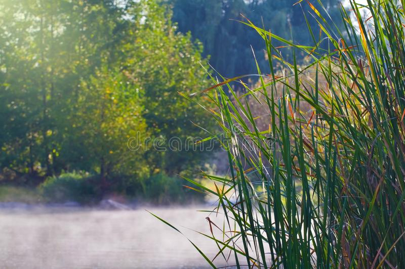 Leaves of bulrush on a river bank with fast flow, fog cover water surface, quiet and peaceful misty sunrise royalty free stock images