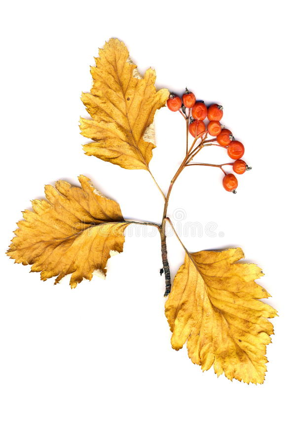 Leaves and bunch of hawthorn on a white background isolated stock photo