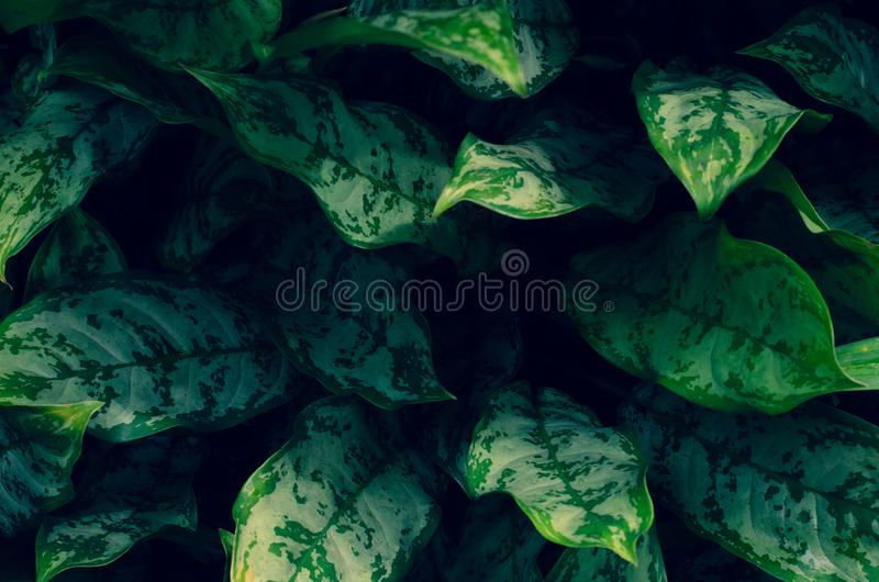 Leaves Calathea ornata pin stripe background blue stock images