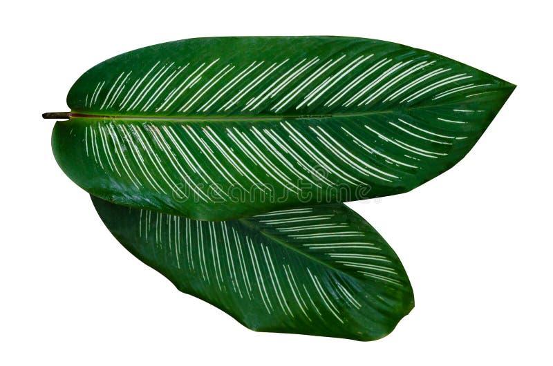 Leaves Calathea ornata pin stripe background White Isolate royalty free stock image