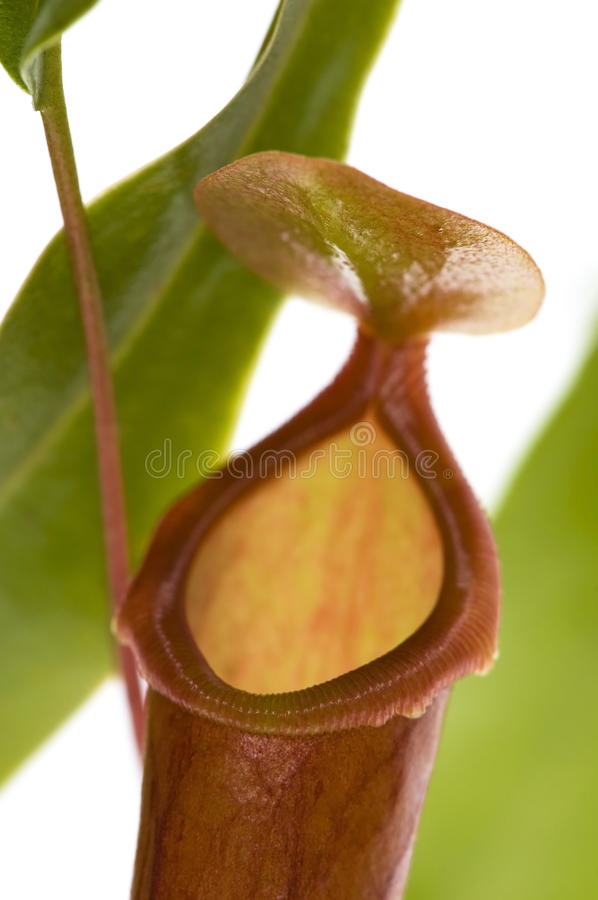 Leaves of carnivorous plant - Nepenthes stock photography