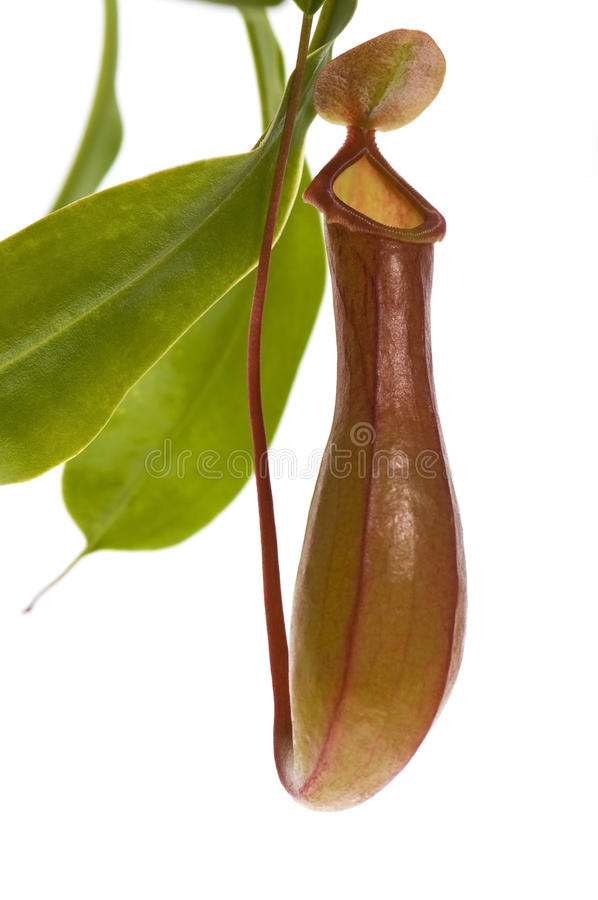Leaves of carnivorous plant - Nepenthes stock photo