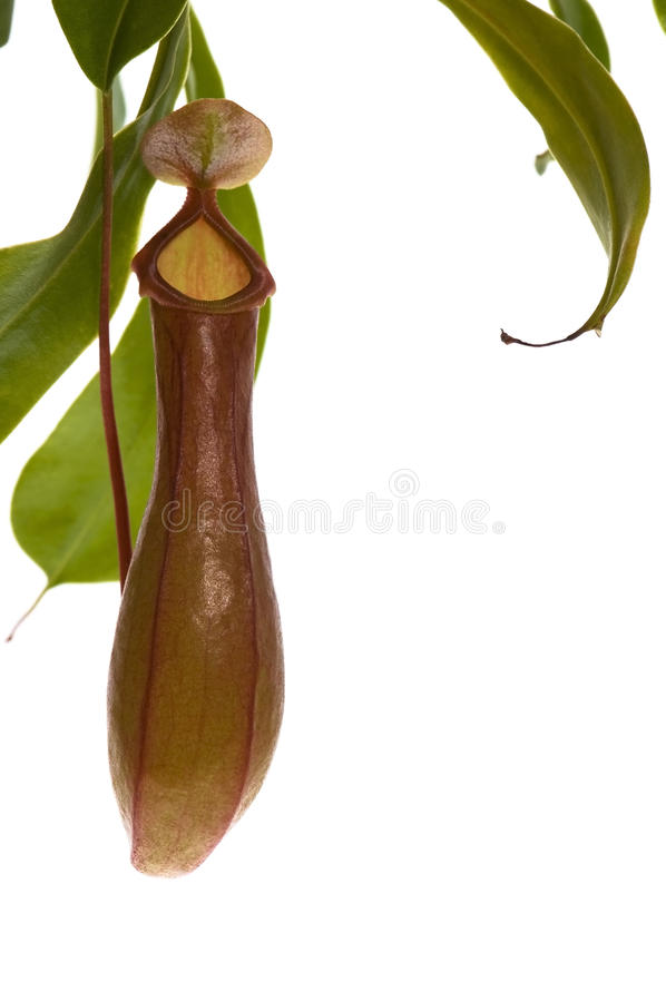 Download Leaves Of Carnivorous Plant - Nepenthes Stock Photo - Image: 11044452