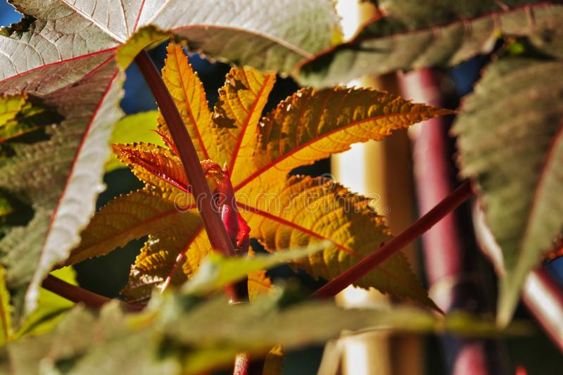 Leaves of castor bean tree royalty free stock photos