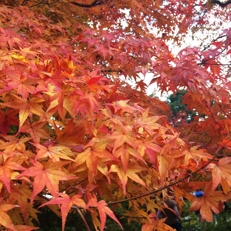The leaves change color, colorful autumn leaves. The leaves change color, red autumn leaves in Japan royalty free stock image
