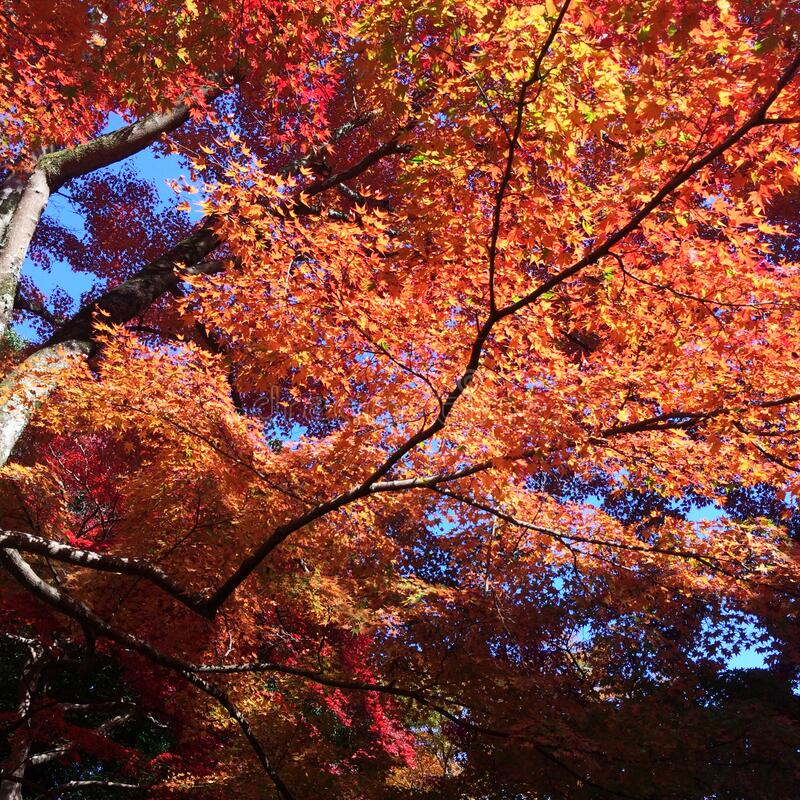 The leaves change color, red autumn leaves. From under the maple tree in Japan royalty free stock image