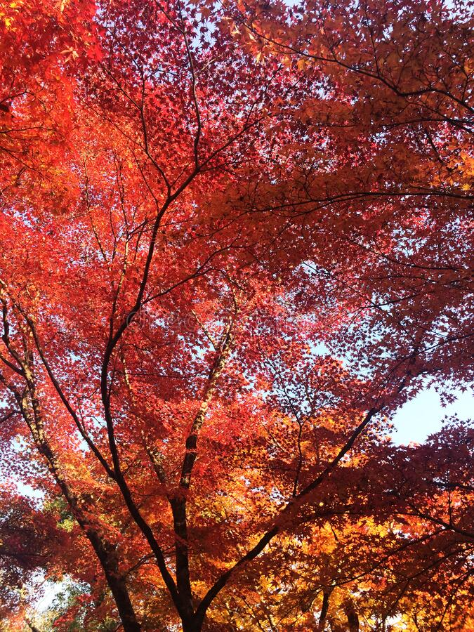 The leaves change color, colorful autumn leaves. The leaves change color, red autumn leaves from under the maple tree in Japan royalty free stock photo
