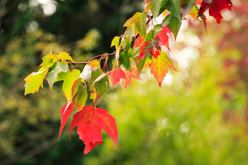 Leaves Changing royalty free stock image