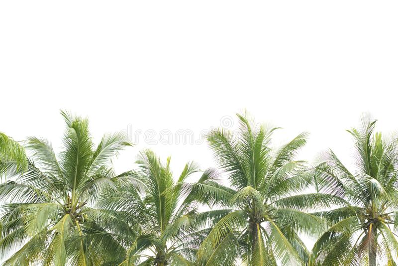 Leaves of coconut tree isolated . stock photos