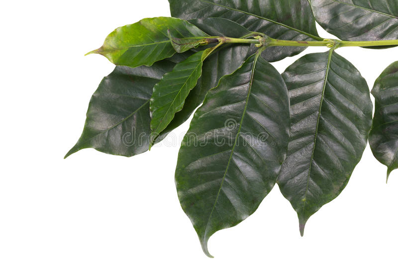Leaves coffee tree isolated on white background.  stock photos