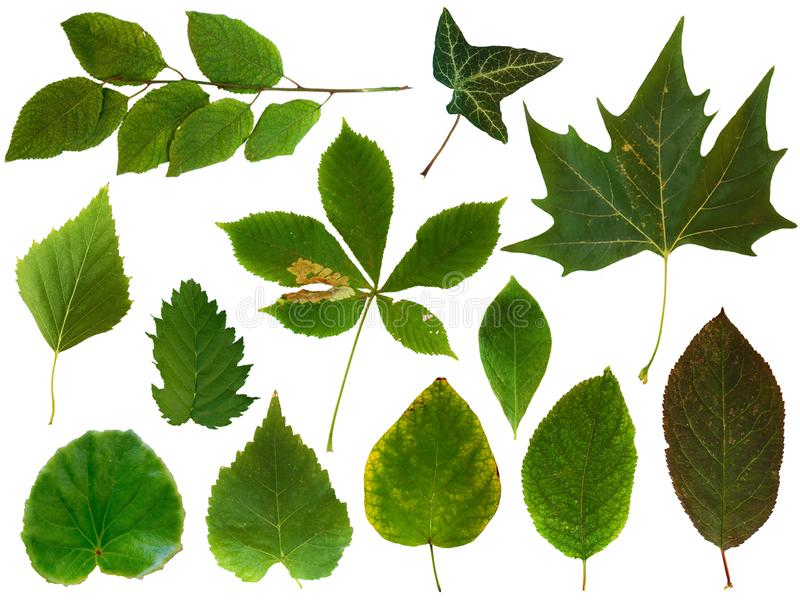Leaves collection 2. 12 green leaves of various plants isolated on white background. PNG file with full transparency is available as additional format stock photos