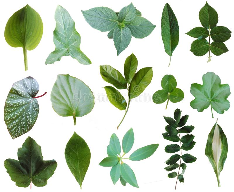 Leaves collection 1. 15 green leaves of various plants isolated on white background. PNG file with full transparency is available as additional format royalty free stock images
