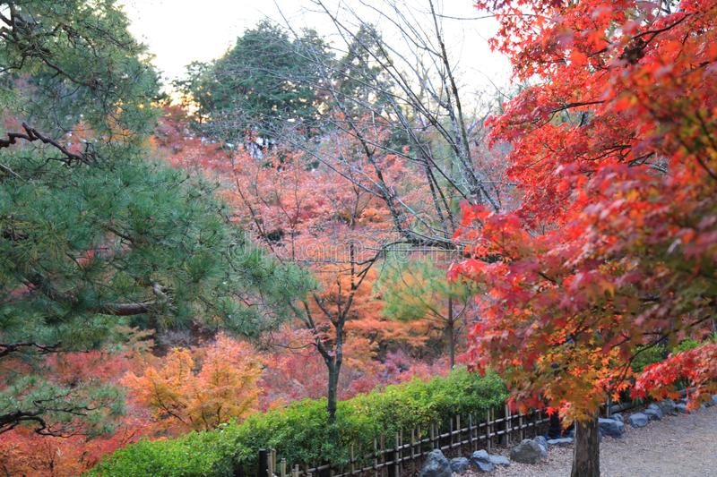 The Leaves color change in tofukuji temple at kyoto in Japan royalty free stock image