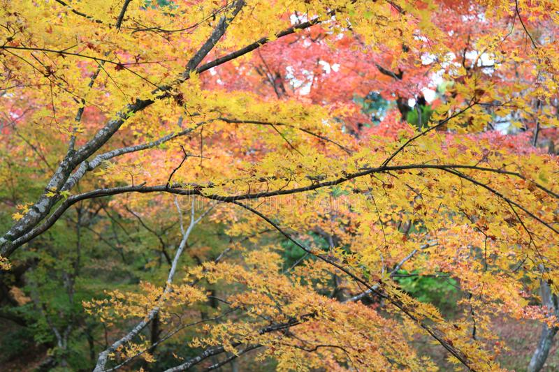 The Leaves color change in tofukuji temple at kyoto in Japan stock photography