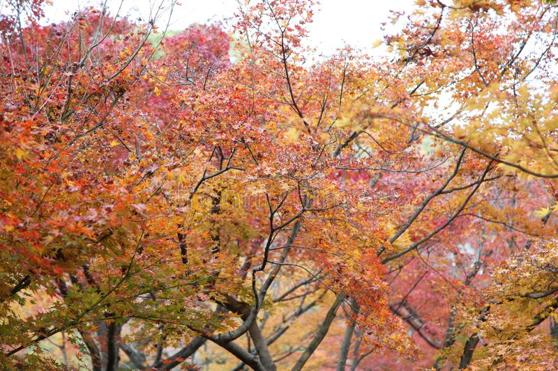The Leaves color change in tofukuji temple at kyoto in Japan royalty free stock photography