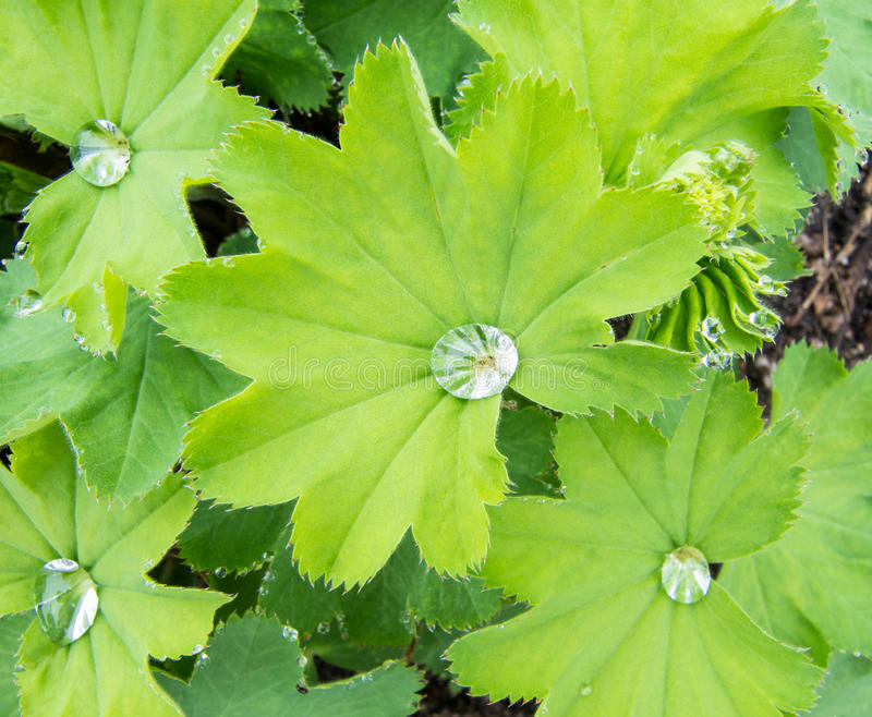Leaves of Common Lady s Mantle