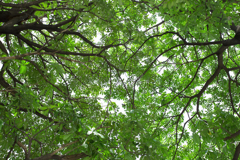Leaves cover the sky. Green leaves and tree branch cover the white sky royalty free stock photo