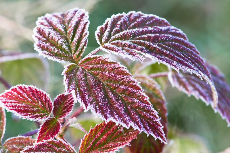 Download Leaves Covered With Hoarfrost Stock Image - Image: 16866607