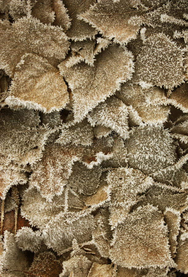Leaves Covered With Hoarfrost Stock Image