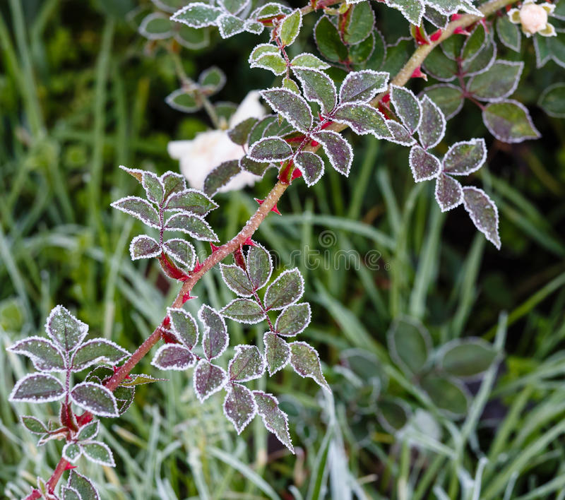 Download Leaves Covered With Hoarfrost Stock Photo - Image: 27511892