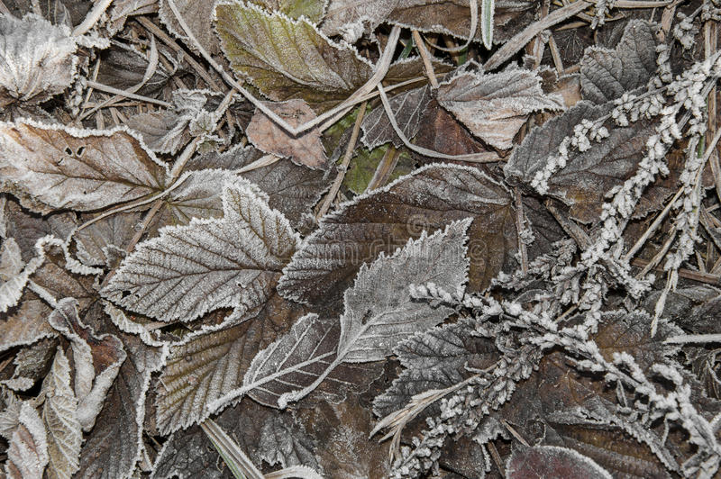 Leaves covered with ice crystals
