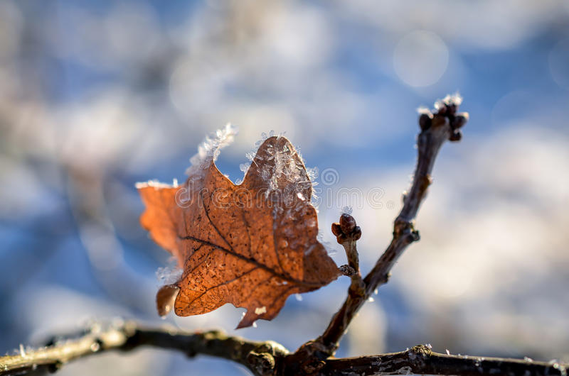 Download Leaves Covered With Ice Crystals In Winter Stock Photo - Image: 83703373