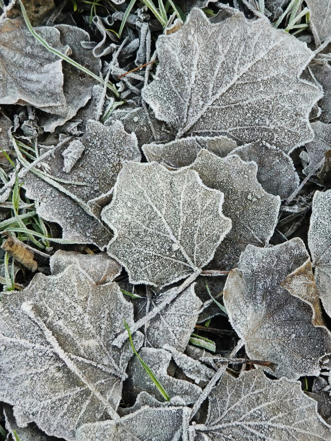 Leaves covered with small ice crystals stock images