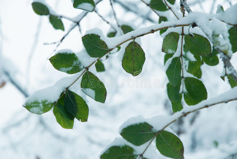 Download Leaves covered with snow stock photo. Image of descriptive - 35662332