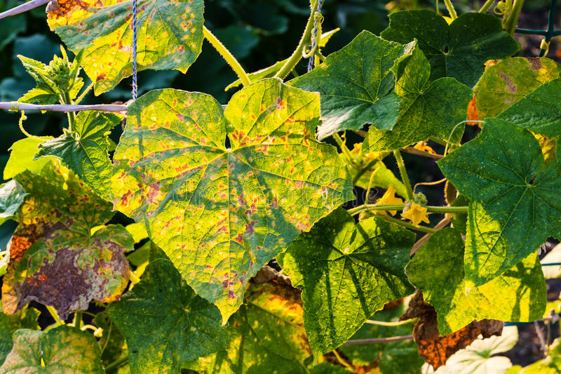 Leaves of cucumber plantation in garden. Leaves of cucumber plantation damaged by spider mite in garden at summer sunset in Krasnodar region of Russia royalty free stock image