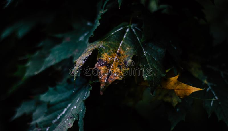 Leaves in the dark royalty free stock photography