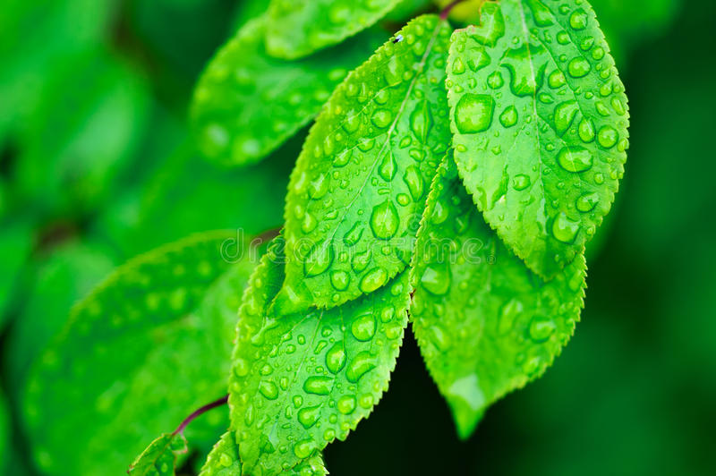 Leaves with dew royalty free stock images