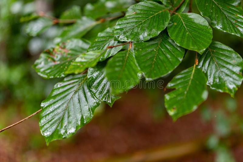 Leaves dewy with rain drops. Lush green leaves beech tree leaves royalty free stock images