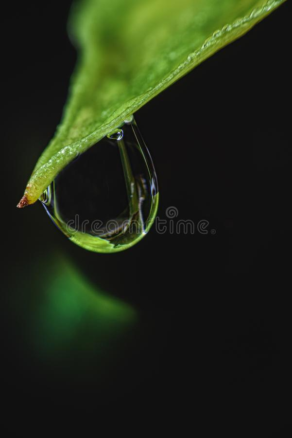 Leaves with drops of water falling from natural phenomena that occur in the morning and after rain.  stock images