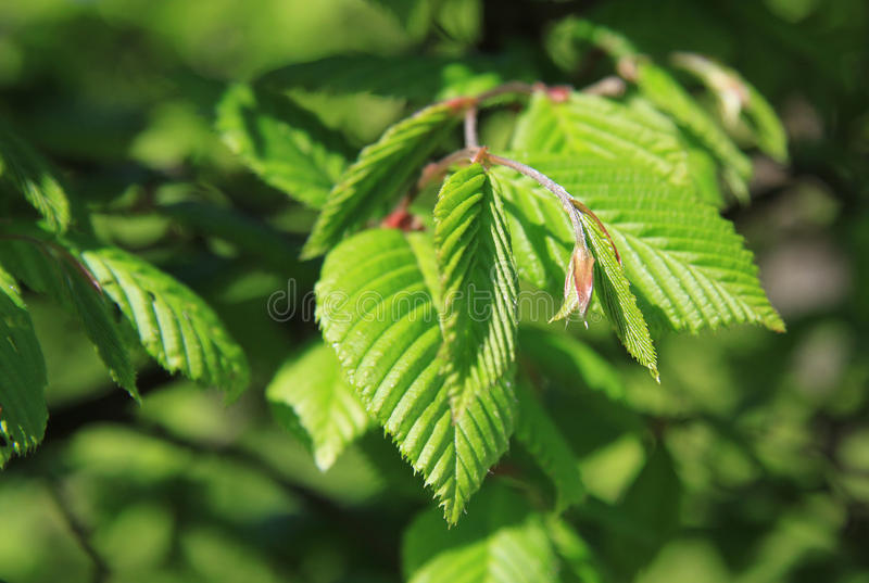 Leaves of elm tree in the spring royalty free stock images
