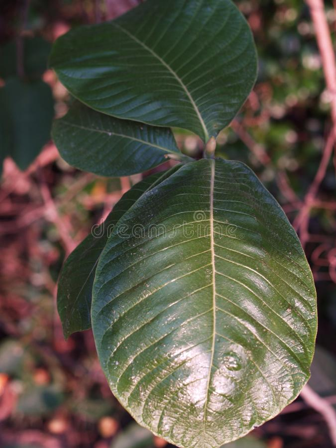 Download Leaves013 stock image. Image of falcate, cordate, hastate - 40105305