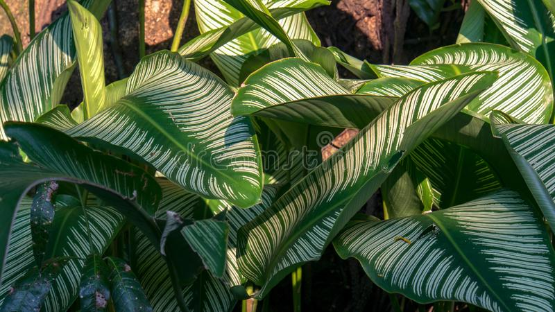 Leaves of the exotic pin-stripe calathea plant. The beautiful striped leaves of the exotic pin-stripe calathea plant. Captured at the Andean mountains of sothern royalty free stock image