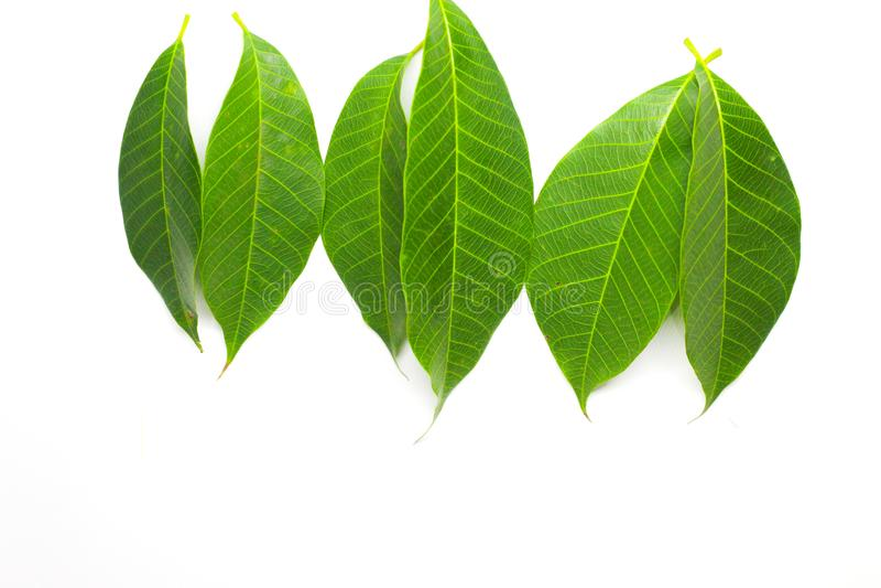leaves för acaciabakgrundsgreen royaltyfri bild