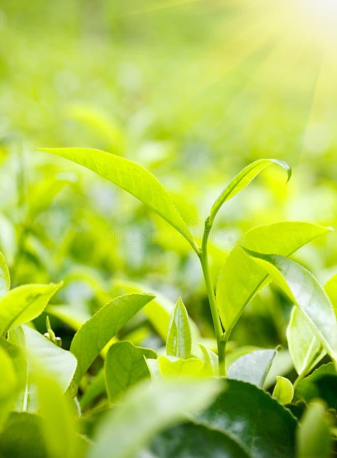 Leaves för grön tea arkivfoton