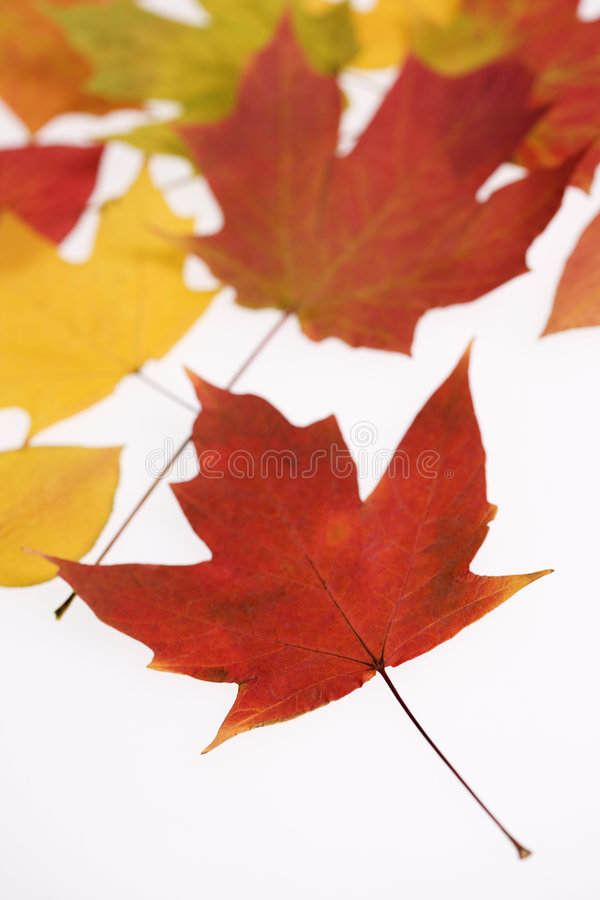 Leaves in Fall color on white. stock image