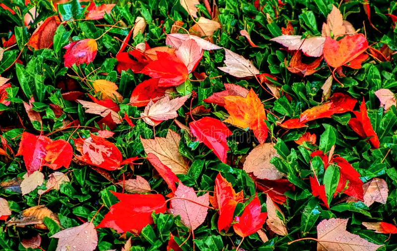 Leaves leaves fallen leaves of autumn. On an autumn day, leaves fall from the trees as the once fresh and green colors give way to the autumn colors of orange stock photos